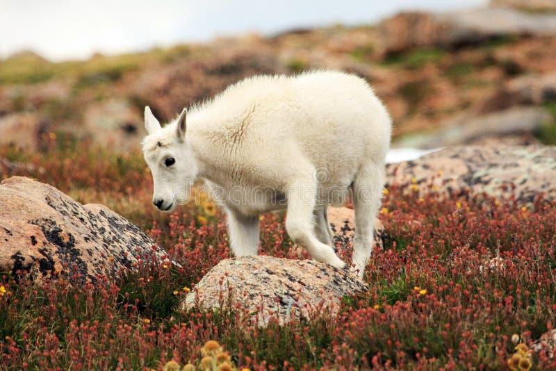 婴孩在Mt.伊万斯的石山羊 伊万斯 图库摄影