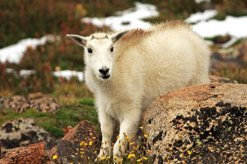 婴孩在Mt.伊万斯的石山羊 伊万斯 库存照片