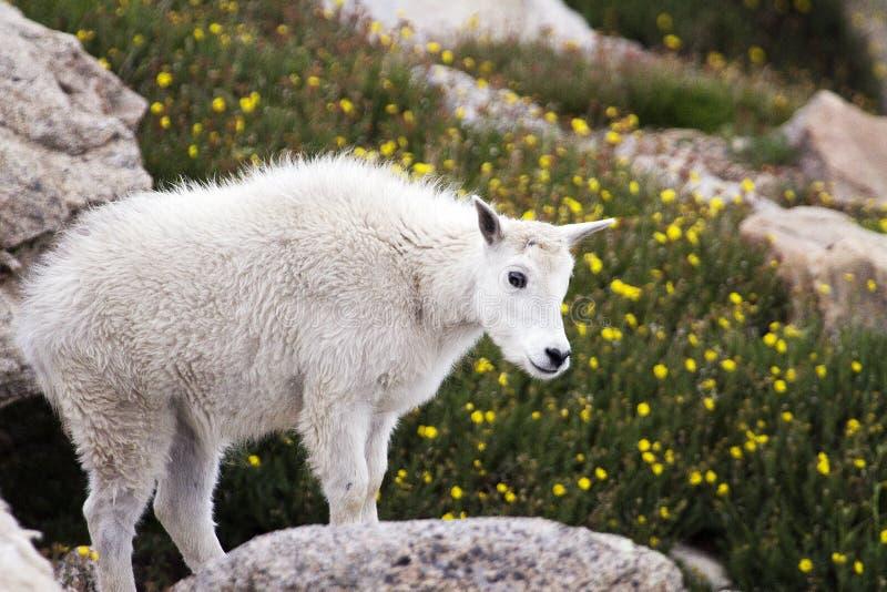 婴孩在Mt.伊万斯的石山羊 伊万斯 库存图片
