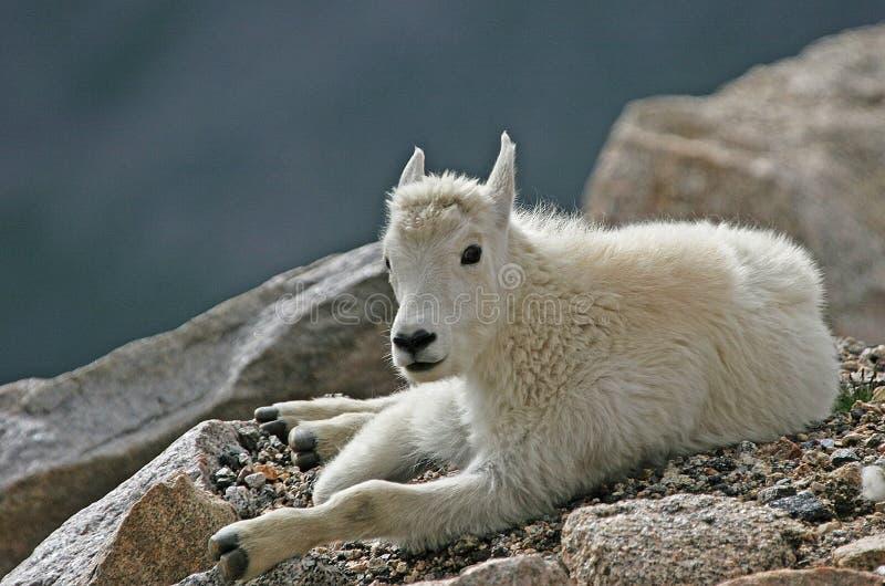 婴孩在Mt.伊万斯的石山羊 免版税库存图片