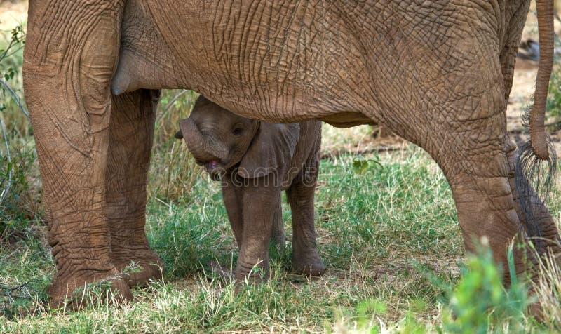 婴孩大象是接近他的母亲 闹事 肯尼亚 坦桑尼亚 serengeti 马赛马拉 免版税库存照片