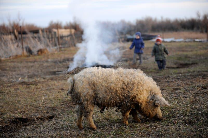 孩子吃草和与一头大公猪和一只小乳猪的戏剧 免版税图库摄影