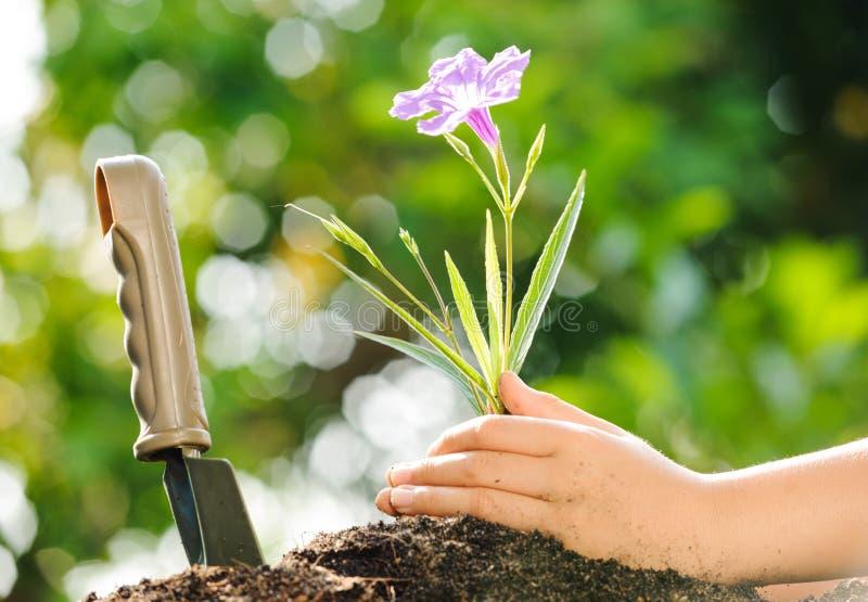 孩子在手上的拿着年幼植物在土壤上 库存照片