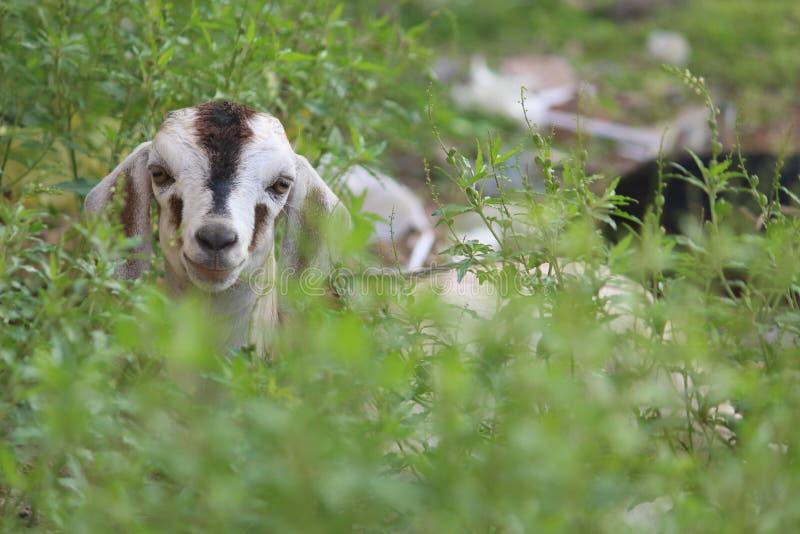 孩子山羊头 免版税图库摄影