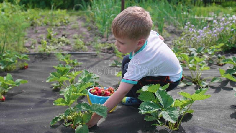 孩子收集红色莓果维多利亚 在儿童` s桶轻轻地打破莓果并且投入它 收获在庭院里 图库摄影