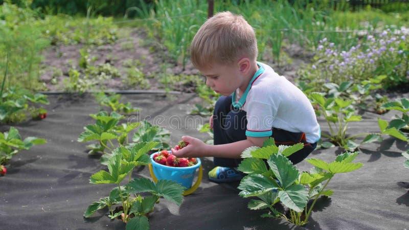孩子收集红色莓果维多利亚 在儿童` s桶轻轻地打破莓果并且投入它 收获在庭院里 库存图片