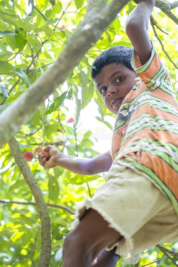 孩子采从树的lychee在ranisonkoil, thakurgoan,孟加拉国 库存图片
