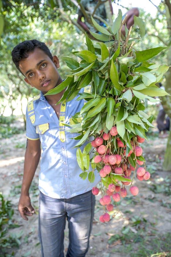 孩子采从树的lychee在ranisonkoil, thakurgoan,孟加拉国 库存照片