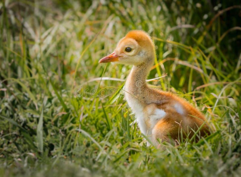 婴孩小鸡sandhill起重机,年纪少量的天 免版税库存照片