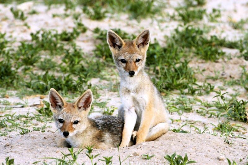婴孩支持黑的狐狼,犬属mesomelas,万基,津巴布韦 免版税图库摄影