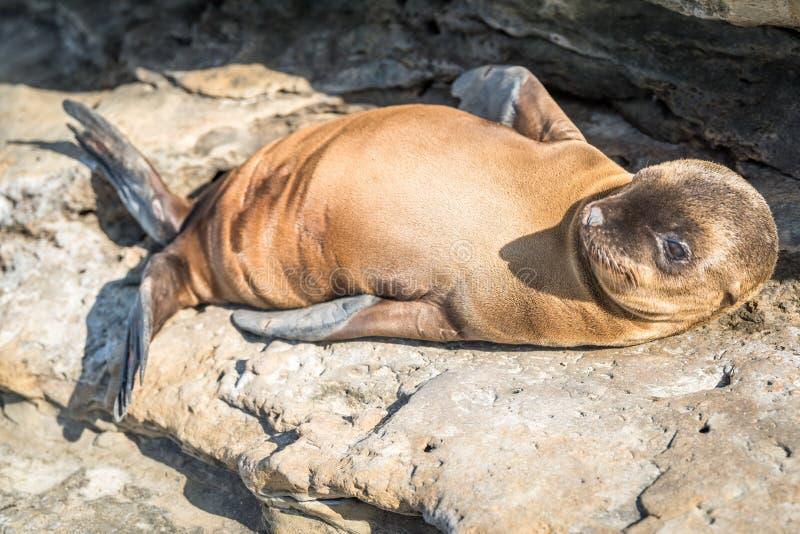 婴孩放置在岩石的海狮小狗 图库摄影