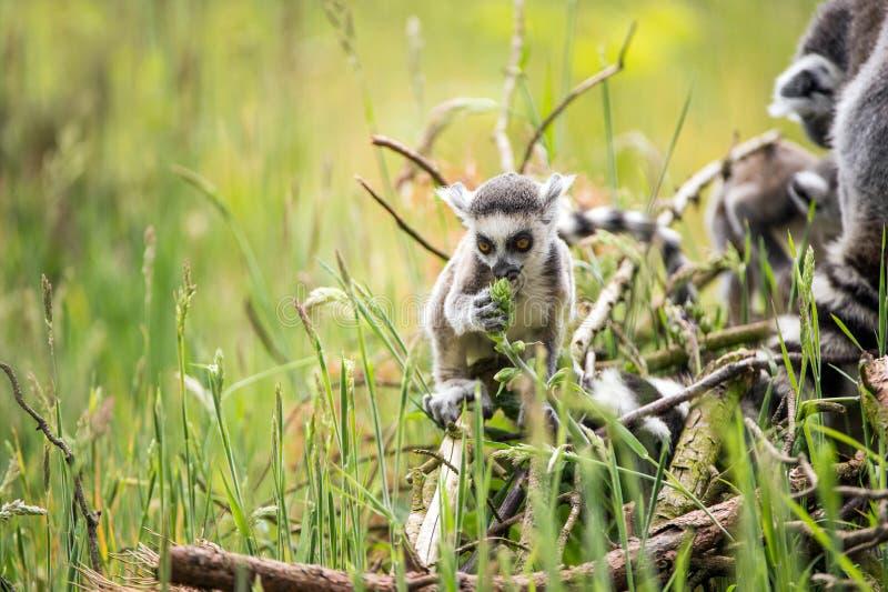 婴孩环纹尾的狐猴 库存照片