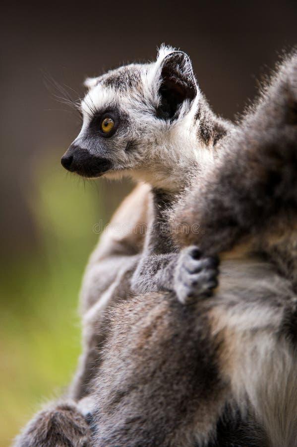 婴孩环纹尾的狐猴 免版税库存图片