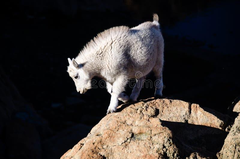 婴孩石山羊 免版税图库摄影