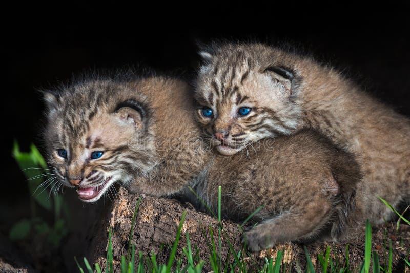 婴孩美洲野猫小猫(天猫座rufus)在兄弟姐妹上面说谎 库存图片