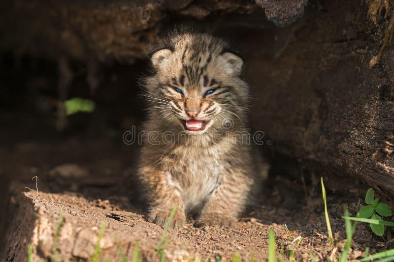 婴孩美洲野猫小猫(天猫座rufus)在空心日志哭泣 库存照片