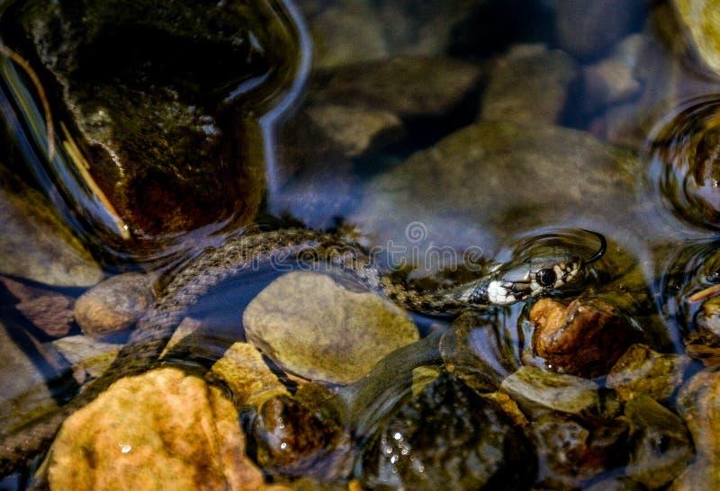 婴孩草蛇或圈状的蛇或者水蛇 库存照片