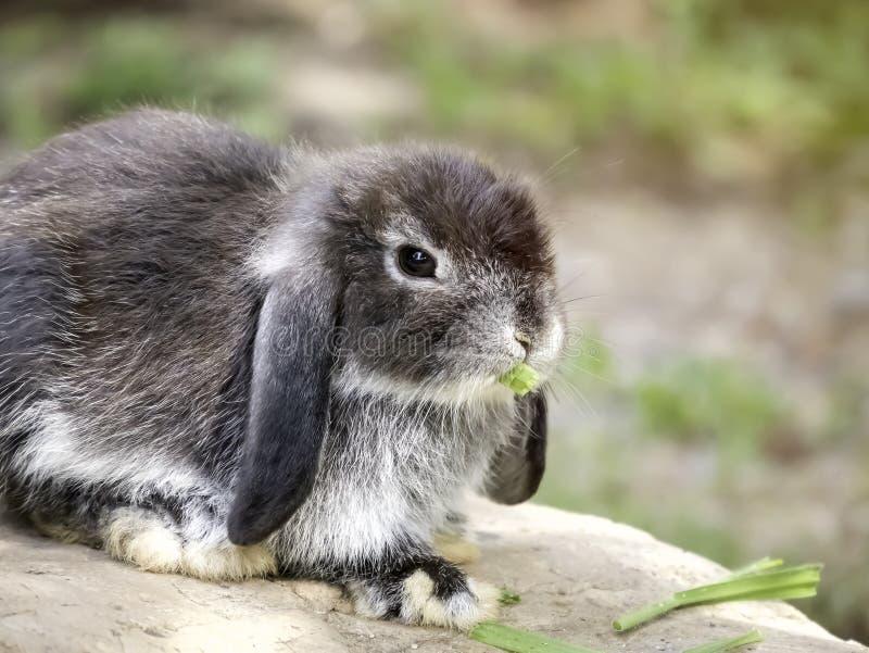 婴孩荷兰砍兔子 免版税图库摄影