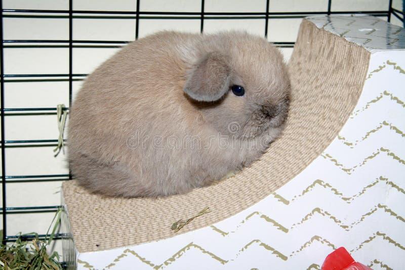 婴孩荷兰Lop小兔蓝色侵权行为颜色 库存照片