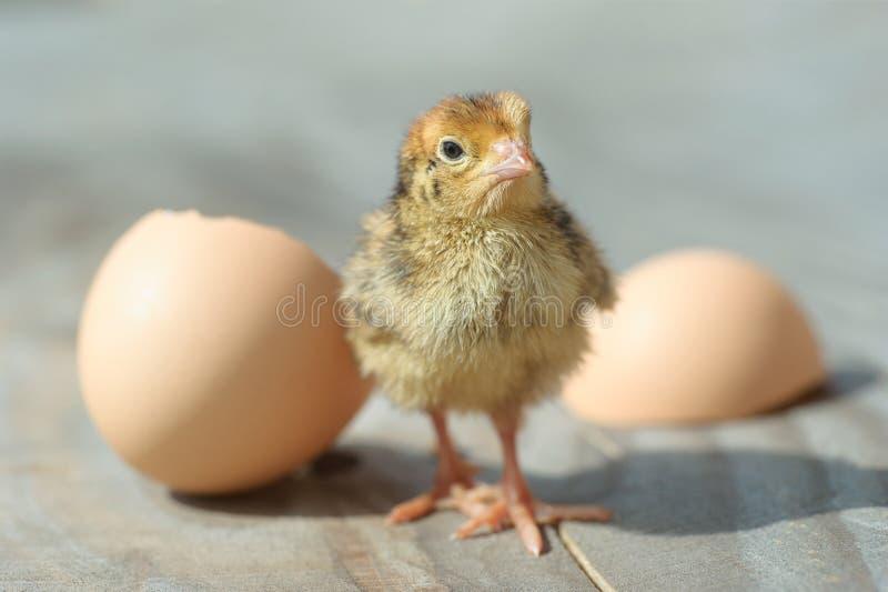 婴孩从鸡蛋的小鸡舱口盖 库存图片