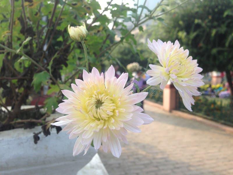 孪生庭院的向日葵 免版税库存图片