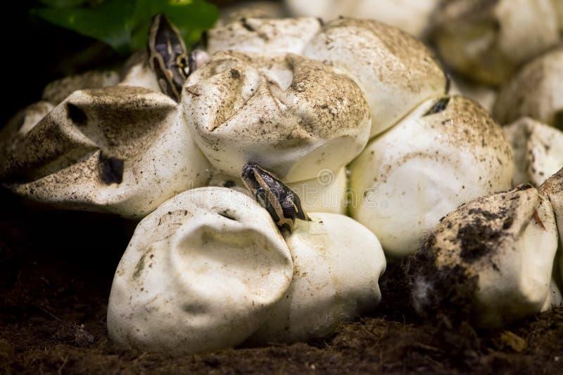 孵化从鸡蛋的Python 免版税图库摄影