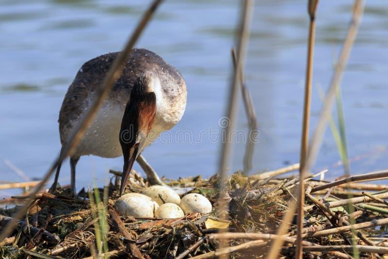 孵化它的鸡蛋的鸟 免版税图库摄影