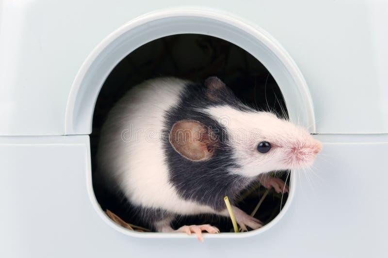 看在它外面的小的老鼠是孔 库存图片