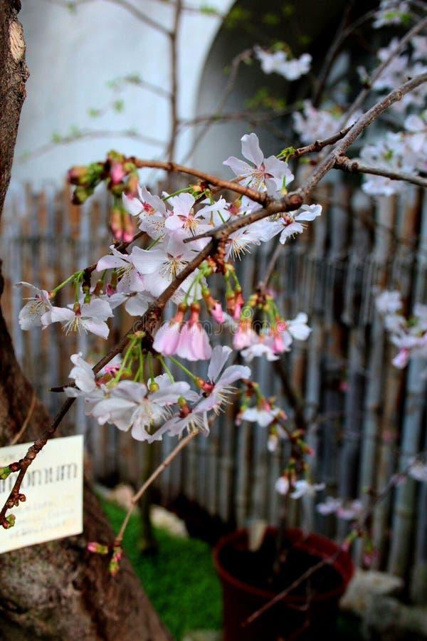它桃红色佐仓` s美丽的花  免版税库存照片