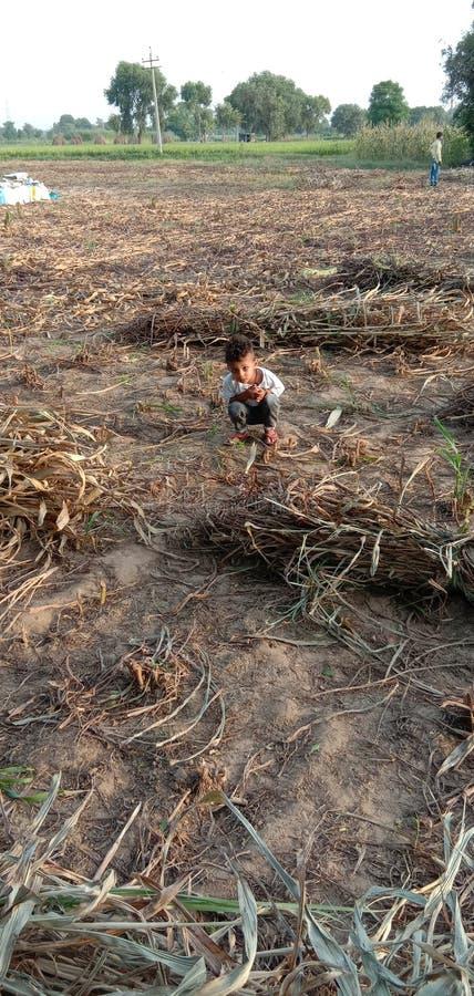 它的小米庄稼的时期 库存照片