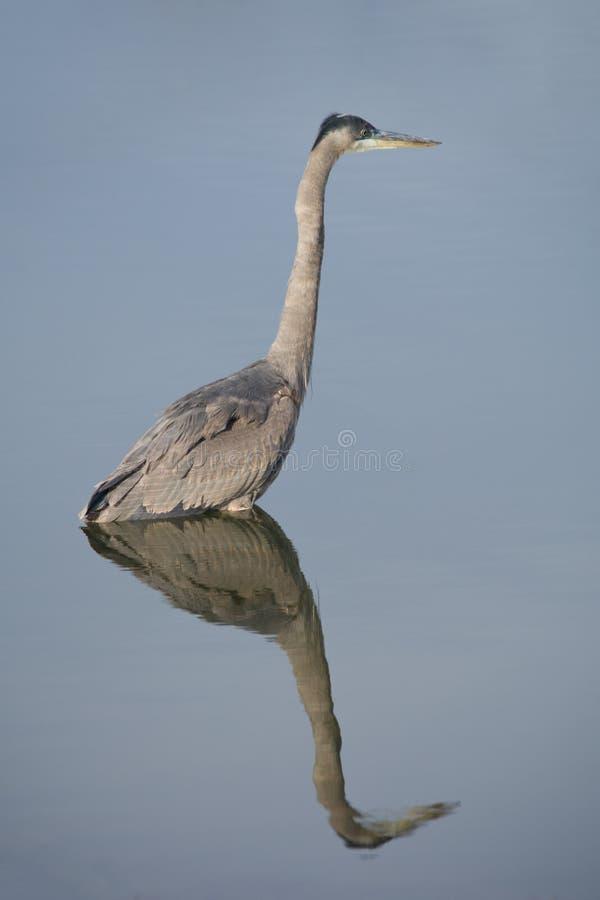 它的晚餐的蓝色苍鹭狩猎 库存照片