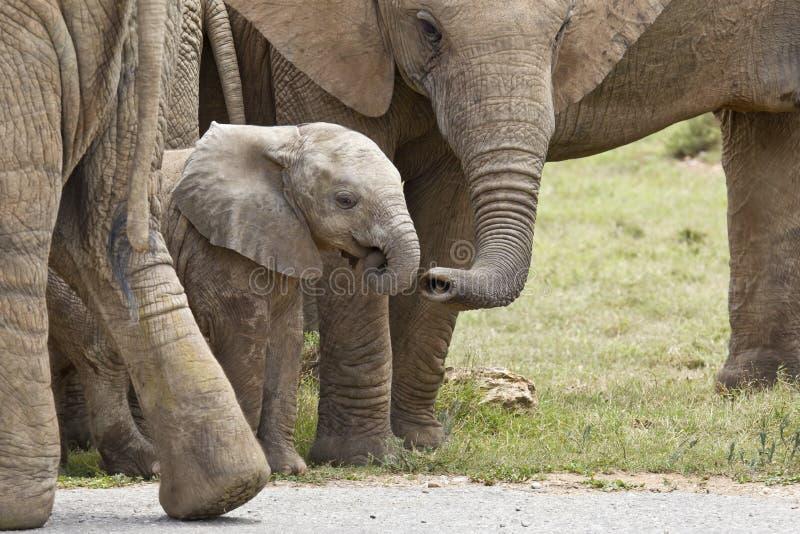 它的有它的树干的家庭成员被接触的年轻非洲大象 免版税库存照片
