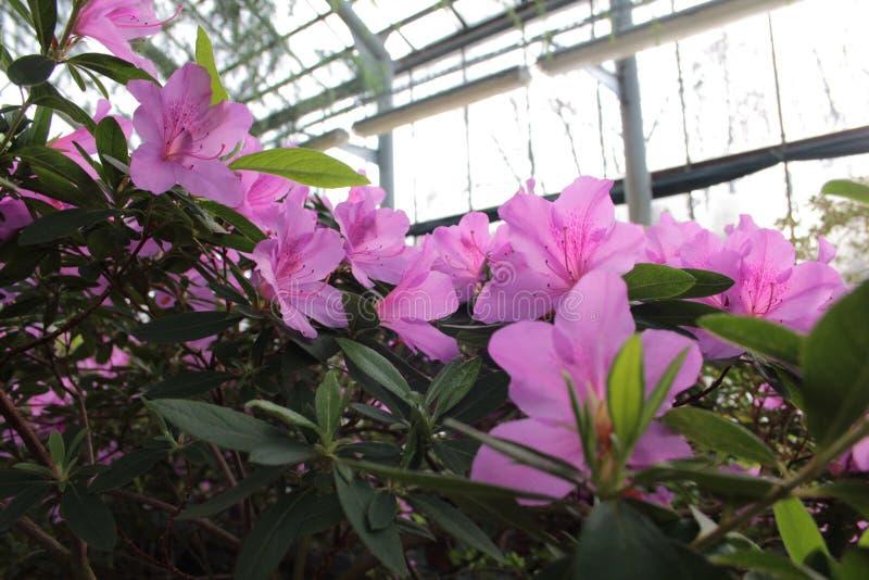 它azalies ` s美丽的花从彼得大帝植物园的  免版税图库摄影