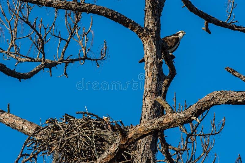 守卫他的家的父亲白鹭的羽毛 库存照片