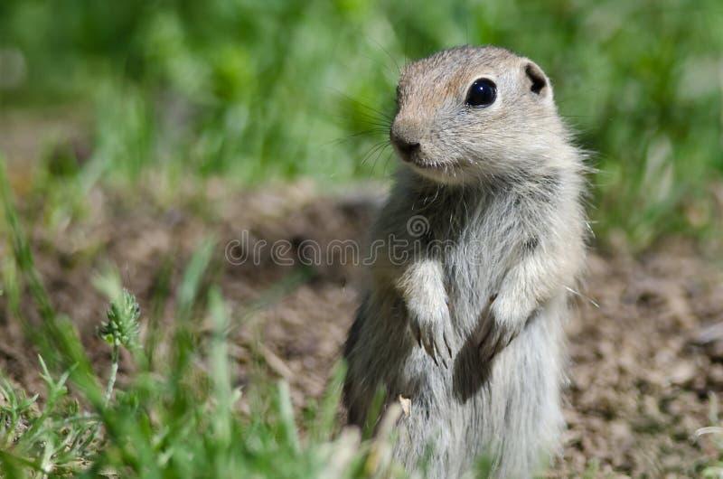 守卫在它的家的小的地松鼠 库存图片