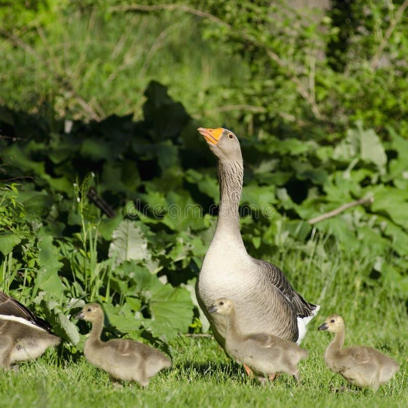 守卫她的幼鹅的鹅妈妈 免版税库存照片