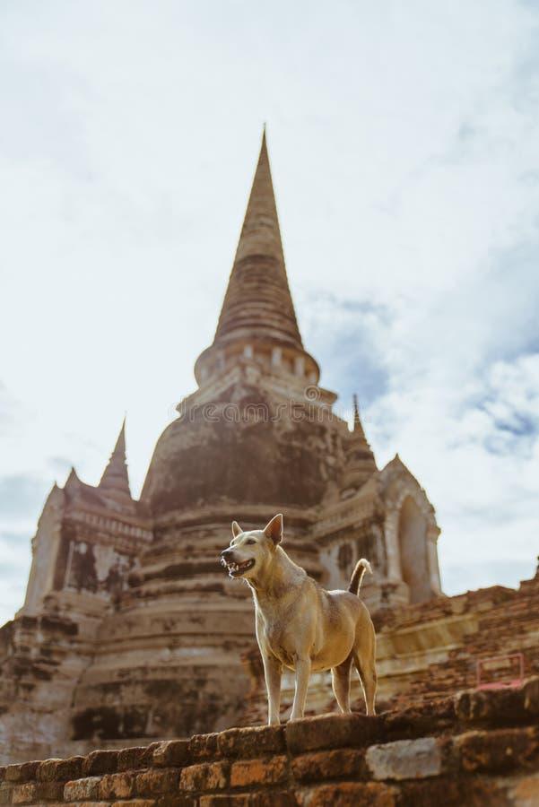 守卫泰国寺庙的狗在Ayudhya,泰国 库存图片