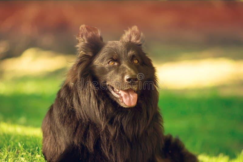 守纪狗的画象在草的 免版税图库摄影