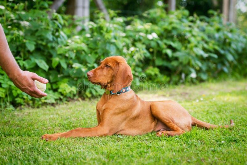守纪训练 训练他的vizsla小狗的人谎言下来命令使用球作为正面增强 库存照片