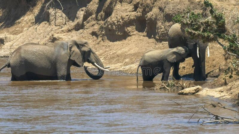 安全大象和小牛横跨马塞人玛拉比赛储备的玛拉河 库存照片