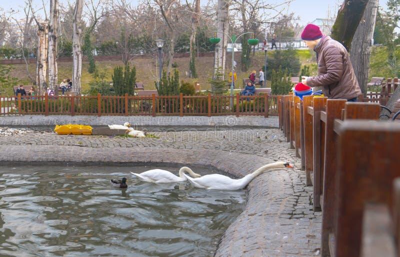 安卡拉/土耳其1月19日2019年:父亲和儿子哺养的白色天鹅在Kugulu公园 库存照片