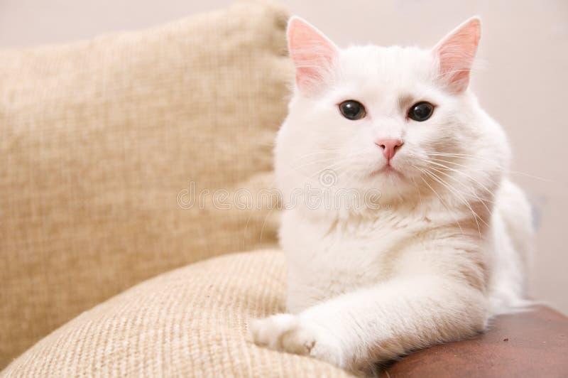 安哥拉猫土耳其 免版税库存图片