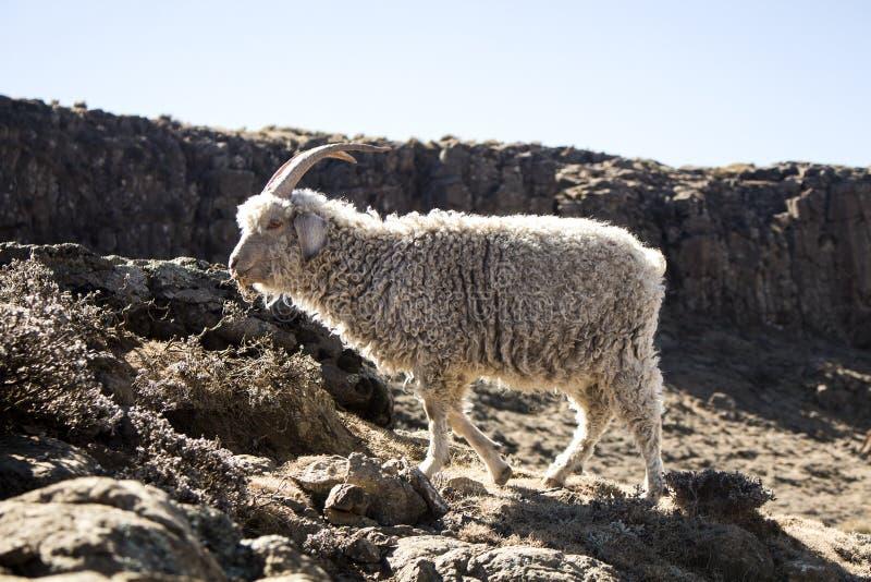 安哥拉猫山羊在Maluti山,德肯斯伯格,莱索托哺养 免版税库存照片