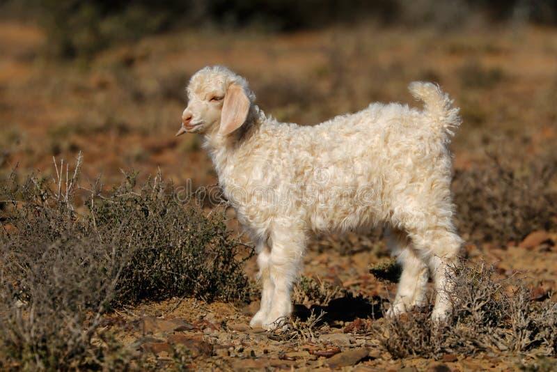 安哥拉猫山羊孩子 库存照片