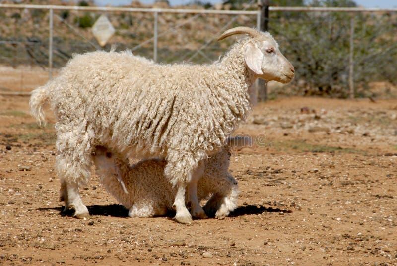安哥拉猫山羊开玩笑母亲 库存照片