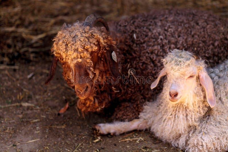 安哥拉猫山羊,山羊属aegagrus hircus 库存照片