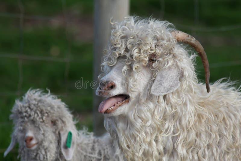 安哥拉猫山羊 免版税图库摄影