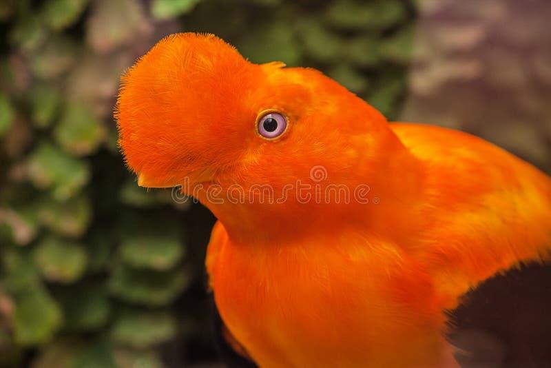 安地斯山的公鸡这石, rupicola peruviana是秘鲁的标志 库存照片
