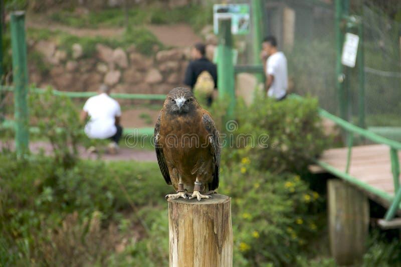 安地斯山的老鹰 免版税库存照片