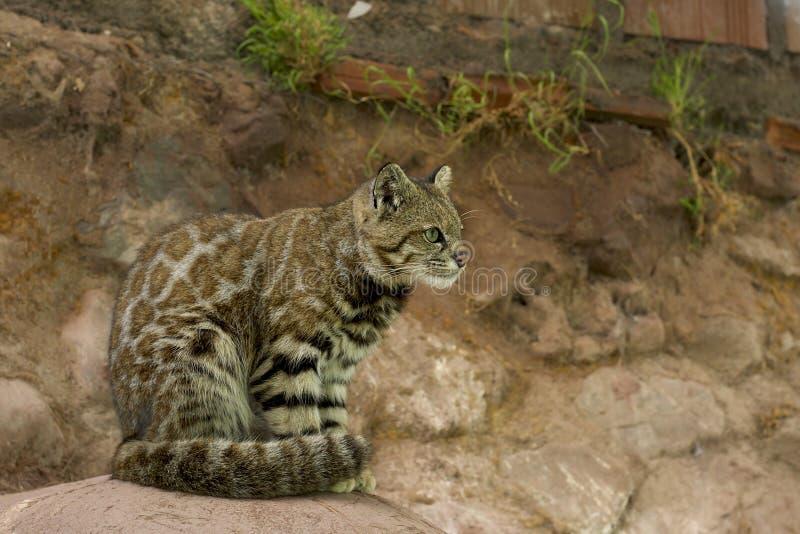 安地斯山的野猫,秘鲁 库存图片
